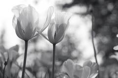 Тюльпаны весны в парке, черно-белом стоковые изображения rf