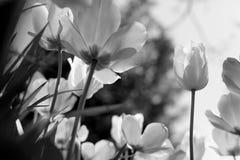 Тюльпаны весны в парке, черно-белом стоковое изображение rf