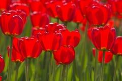 Тюльпаны весны пропитанные по солнцу Стоковые Изображения RF
