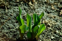 Тюльпаны весны растя в органической земле Стоковое Фото
