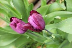 Тюльпаны весны фиолетовые с падениями воды после дождя Стоковые Фото