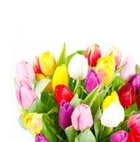 тюльпаны весны цветастых цветков свежие Стоковое Изображение RF