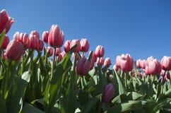 Тюльпаны весны Стоковое Фото