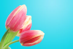 тюльпаны весны Стоковые Изображения