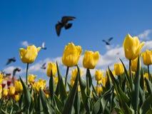 тюльпаны вихрунов Стоковые Изображения
