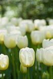 тюльпаны в апреле белые Стоковое Изображение RF