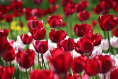 Тюльпаны в много цветов в солнечном свете Стоковое Фото