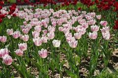 Тюльпаны в много цветов в солнечном свете Стоковое Изображение RF