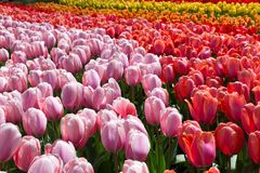 Тюльпаны в парке Keukenhof стоковое изображение rf