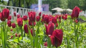 Тюльпаны в поле акции видеоматериалы