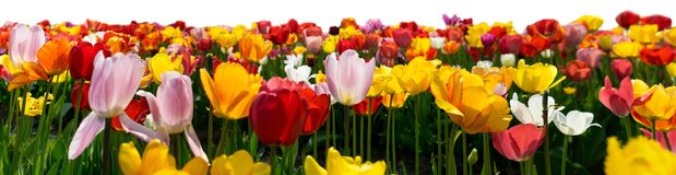Тюльпаны в различных цветах изолированные на белой предпосылке стоковая фотография rf