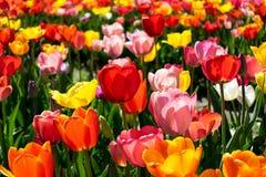 Тюльпаны в различных цветах - поле красочных тюльпанов стоковая фотография