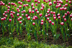 Тюльпаны в саде Стоковые Фотографии RF