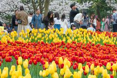 Тюльпаны в Ханчжоу Китае Стоковые Фотографии RF