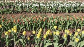 Тюльпаны в цветени видеоматериал