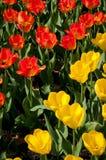 тюльпаны гибрида fosteriana darwin стоковое фото
