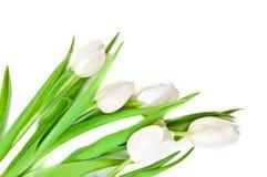 тюльпаны граници белые Стоковое Изображение RF