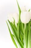 тюльпаны граници белые Стоковое Изображение