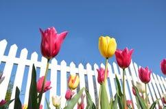тюльпаны загородки белые Стоковые Изображения RF