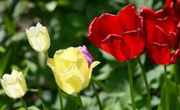 Тюльпаны зацветая в саде Стоковые Фотографии RF