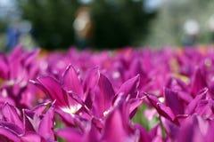 Тюльпаны изумляя цветки весны Пурпурные цветки тюльпанов любов стоковое фото