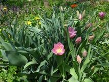 Тюльпаны и полевые цветки совместно стоковые изображения