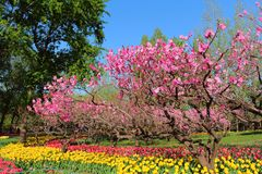 Тюльпаны и цветения персика в весне сада стоковые изображения