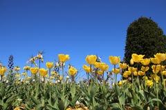 Тюльпаны и цветки цветеня желтые в Springtimeธ стоковые изображения rf