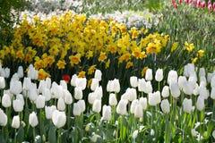 Тюльпаны и daffodils в парке Keukenhof Голландия Стоковые Изображения RF
