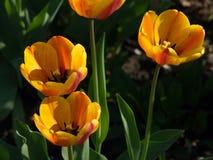 Тюльпаны красивейшая весна цветков Стоковая Фотография RF