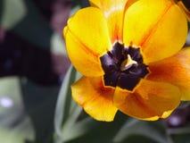Тюльпаны красивейшая весна цветков Стоковое фото RF