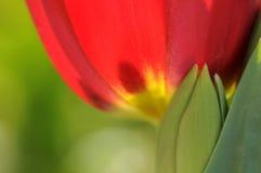 тюльпаны красного цвета детали Стоковые Фотографии RF