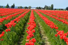 Тюльпаны красного цвета долины Skagit Стоковая Фотография