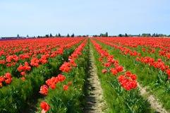 Тюльпаны красного цвета долины Skagit Стоковая Фотография RF