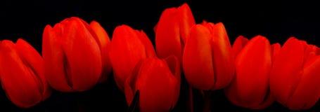тюльпаны красного цвета панорамы стоковое изображение rf