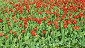 тюльпаны красного цвета поля Стоковое Изображение RF