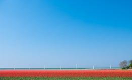тюльпаны красного цвета поля Стоковые Фотографии RF