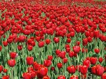тюльпаны красного цвета поля Стоковое Изображение