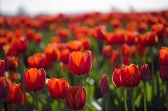 тюльпаны красного цвета поля стоковые изображения rf