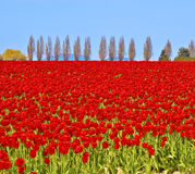 тюльпаны красного цвета поля Стоковая Фотография