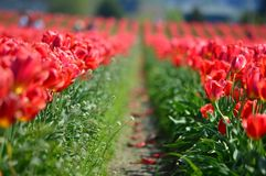 Тюльпаны красного цвета фермы шарика долины Skagit Стоковое фото RF