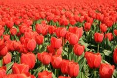тюльпаны красного цвета цветка Стоковая Фотография RF