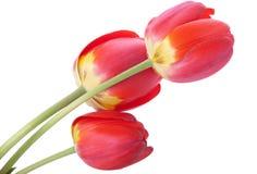 тюльпаны красного цвета 3 Стоковое фото RF