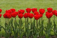 тюльпаны красной весны Стоковая Фотография RF