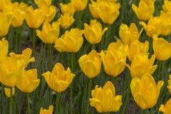 Тюльпаны красоты зацветая желтые Стоковая Фотография RF