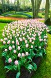 тюльпаны кровати розовые Стоковые Изображения