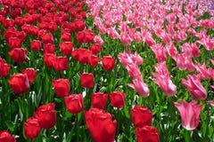 тюльпаны кровати Стоковая Фотография RF