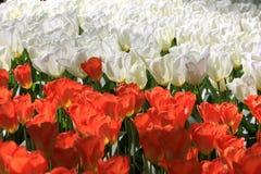 тюльпаны кровати Стоковая Фотография