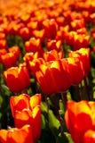тюльпаны кровати Стоковое фото RF