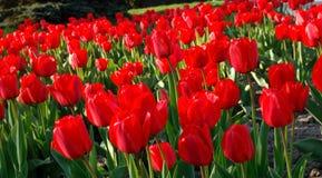 тюльпаны ландшафта поля Стоковые Изображения